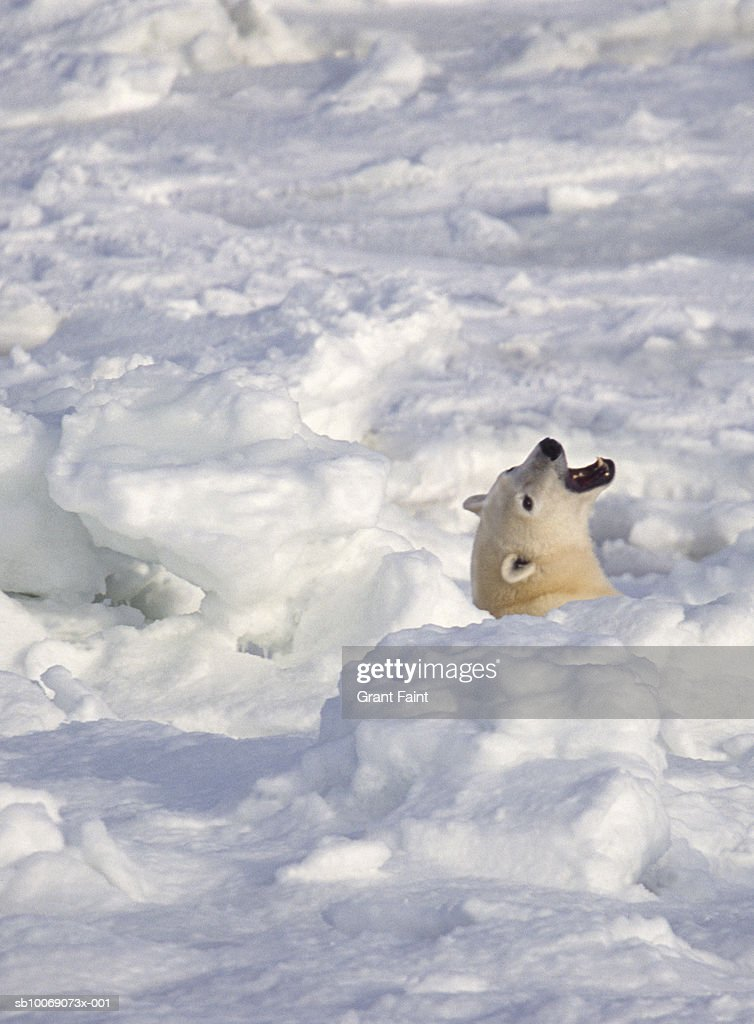Polar Bear roaring in snow : Stockfoto