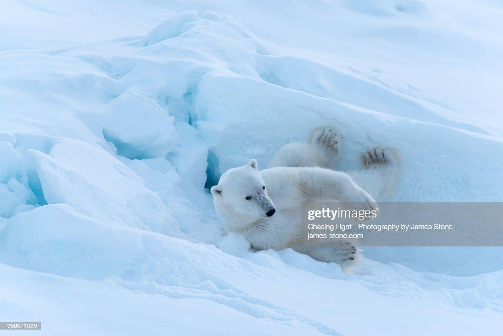 Polar Bear rolling in the snow : ストックフォト