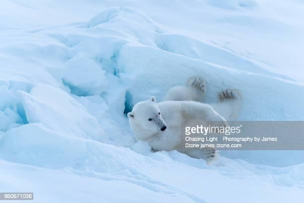 polar bear rolling in the snow - 北極 ストックフォトと画像