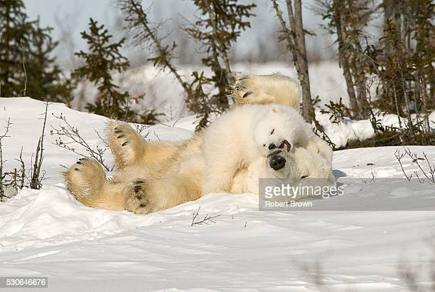 Polar Bear rolling with cub in snow, Watchee, Churchill, Canada
