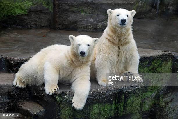 Polar Bear Siblings