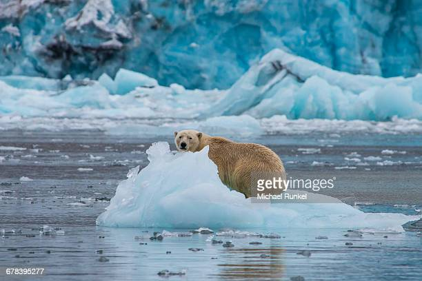 polar bear (ursus maritimus) sitting on a piece of ice in front of a glacier, hornsund, svalbard, arctic - ijsschots stockfoto's en -beelden