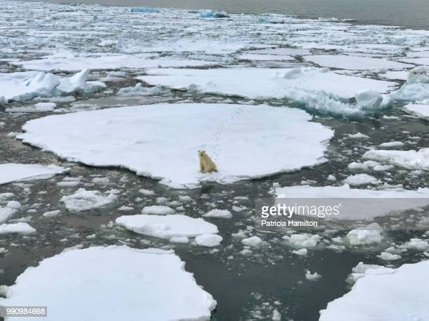 polar bear sitting on sea ice - global warming stock pictures, royalty-free photos & images