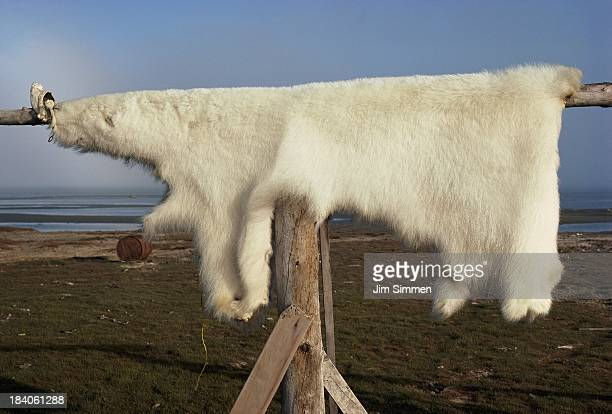 Polar bear skin drying