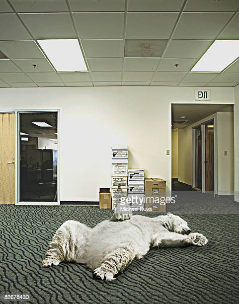 polar bear sleeping in office
