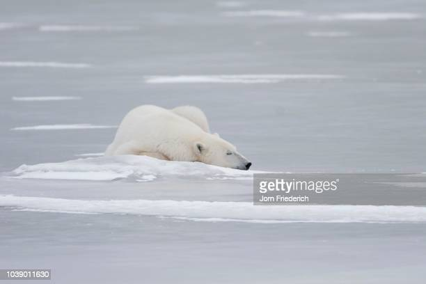 polar bear (ursus maritimus) sleeping on the ice, churchill, manitoba, canada - vista lateral foto e immagini stock