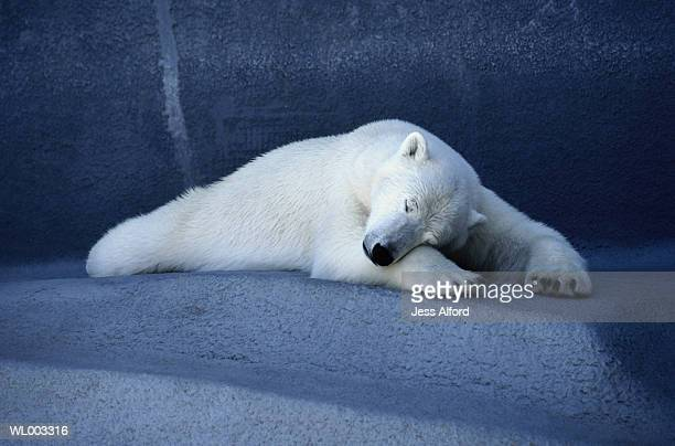 Polar bear (Thalarctos maritimus) sleeping