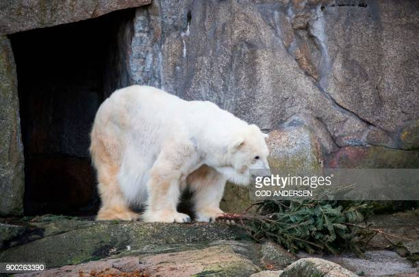 A polar bear snacks on a christmas tree in its enclosure at the Berlin Zoo on January 1 2018 Tourists and locals flocked to the zoo in the German...