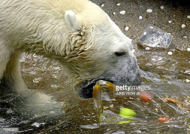 A polar bear snacks on an ice block with apples frozen inside to beat the heat at South Korea's Everland Amusement and Animal Park in Yongin south of...