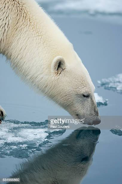 Polar Bear sniffing water