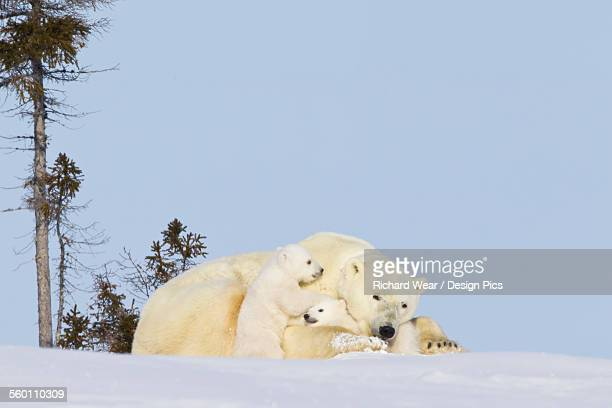 polar bear (ursus maritimus) sow and cubs sitting in late afternoon sun at wapusk national park - osezno fotografías e imágenes de stock