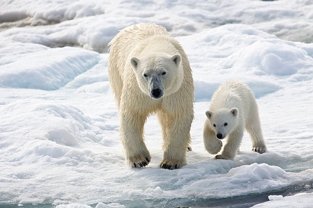 Polar Bear Sow With Young Cub High Arctic Norway Wall Art
