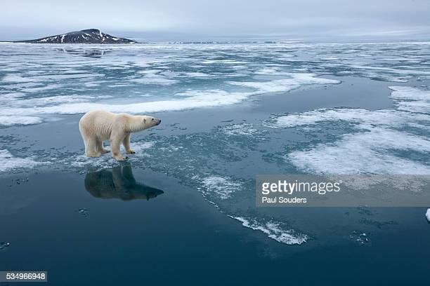polar bear standing at edge of melting ice - one animal stock pictures, royalty-free photos & images