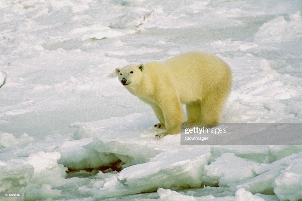 Polar bear (Ursus Maritimus) standing on a snow covered landscape : Foto de stock