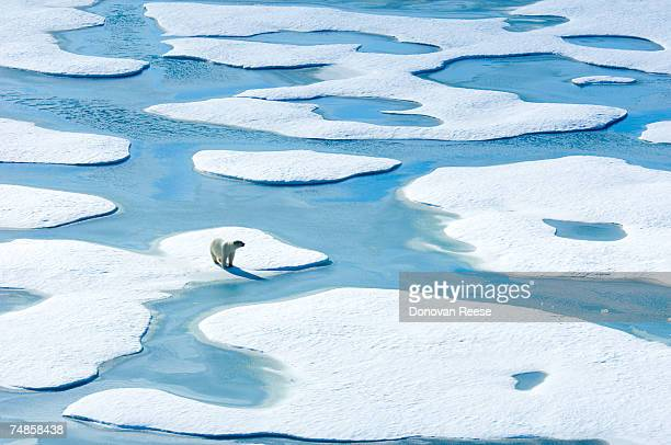 Polar bear standing on ice floe, elevated view