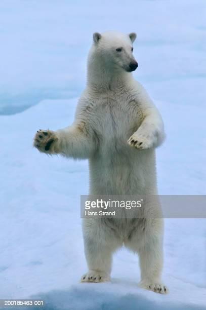 polar bear (ursus maritimus) standing on ice - polar bear stock pictures, royalty-free photos & images