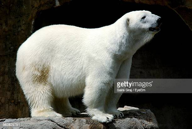 Polar Bear Standing On Rock In Zoo