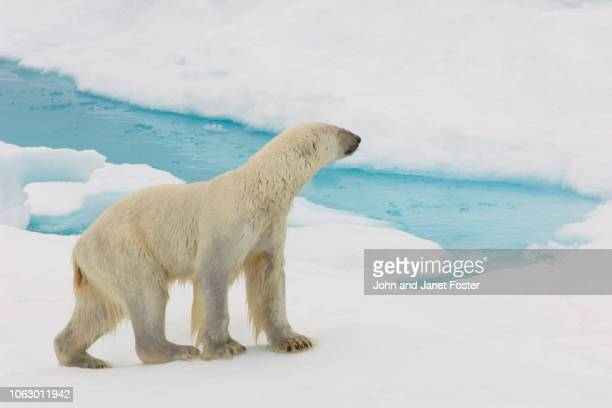 polar bear standing on sea ice at edge of water on arctic ocean with water and ice - underweight stock photos and pictures