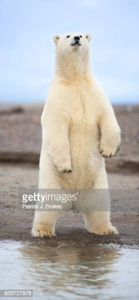 polar bear standing - polar bear stock pictures, royalty-free photos & images