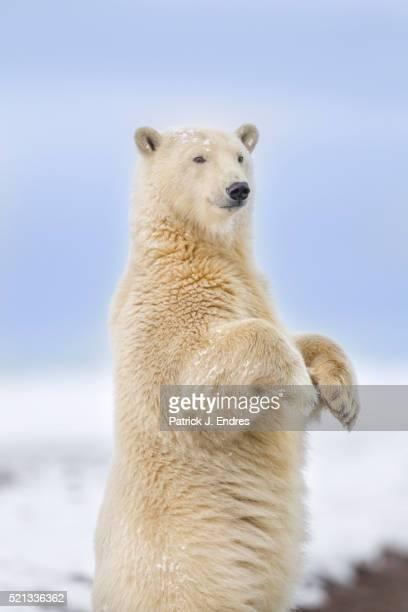 polar bear standing - einzelnes tier stock-fotos und bilder