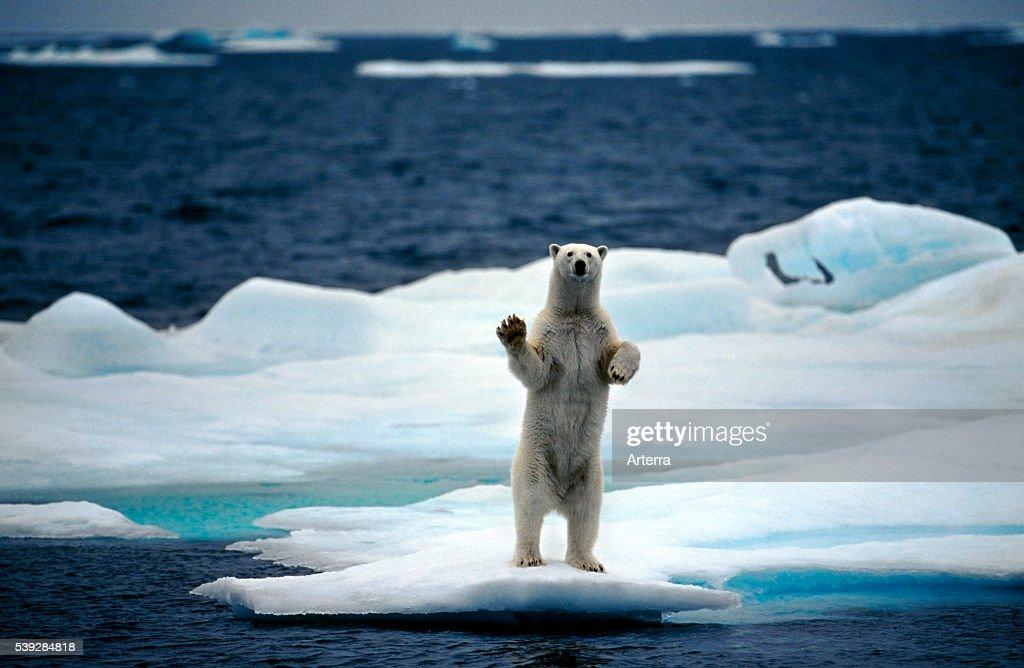 Polar bear : Fotografía de noticias