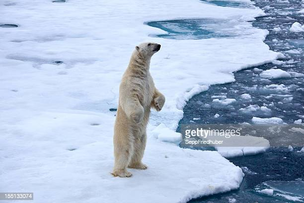 Polar bear standingon pack ice with water pond