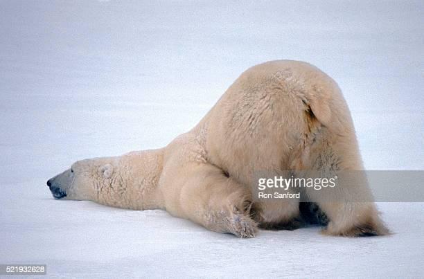 Polar bear sticking its behind in the air
