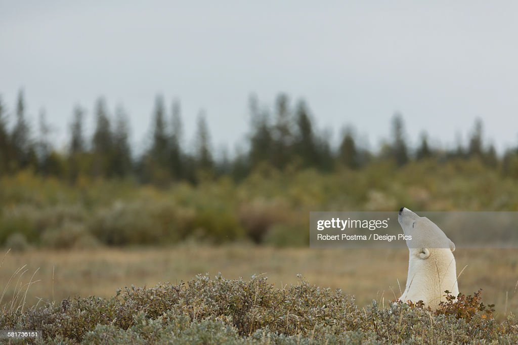 Polar bear (ursus maritimes) sticking its head above the foliage : Stock Photo