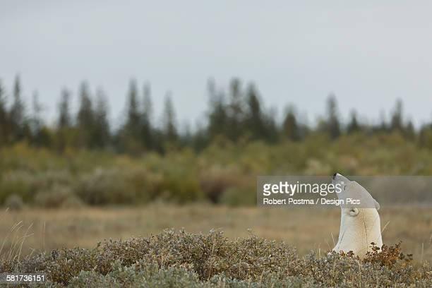 Polar bear (ursus maritimes) sticking its head above the foliage
