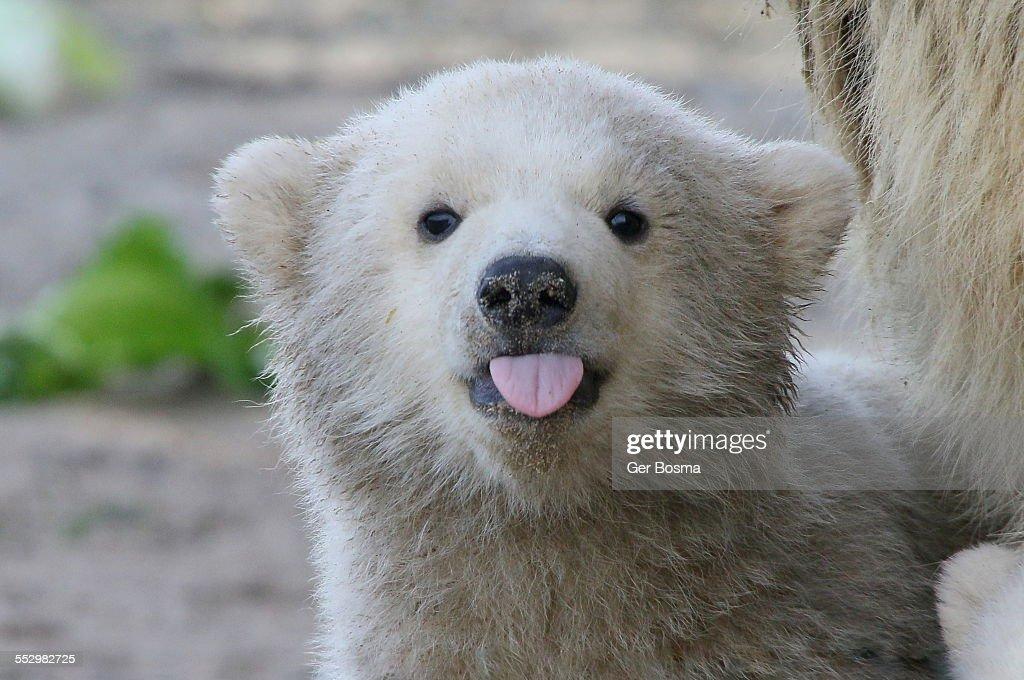 Polar bear sticking out his tongue : Stock Photo