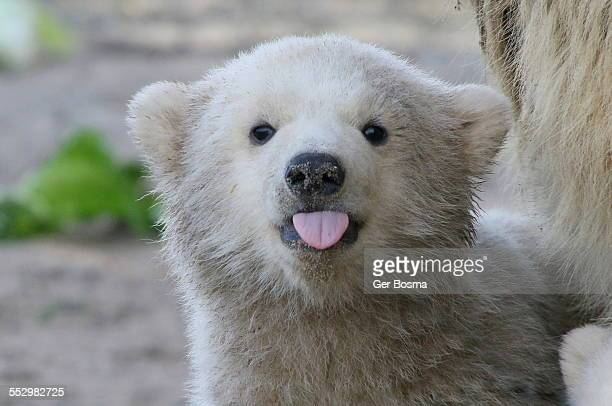 Polar bear sticking out his tongue