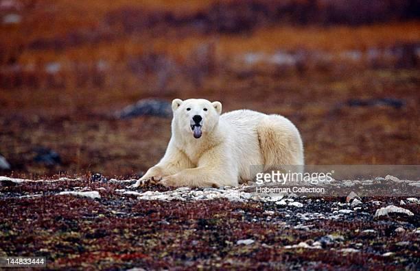 Polar Bear Sticking Tongue Out Arctic