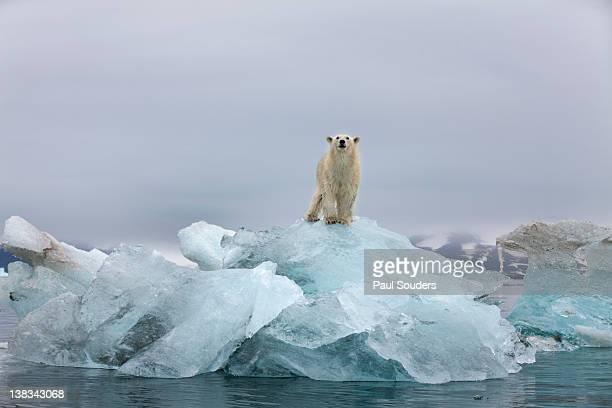 polar bear, svalbard, norway - 氷河 ストックフォトと画像