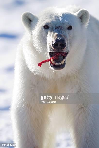 polar bear, svalbard, norway - 動物の歯 ストックフォトと画像