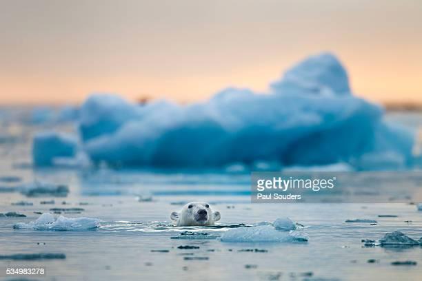 polar bear, svalbard, norway - polar bear stock pictures, royalty-free photos & images