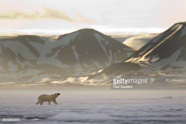 polar bear, svalbard, norway - spitsbergen stock pictures, royalty-free photos & images