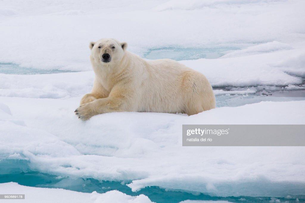 polar bear svalbard : Stock Photo