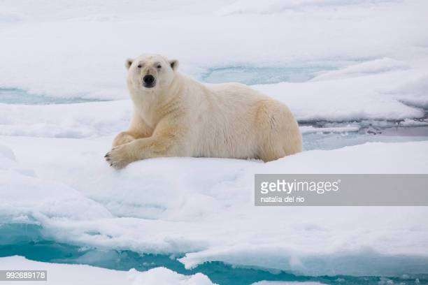 polar bear svalbard - polar bear stock pictures, royalty-free photos & images