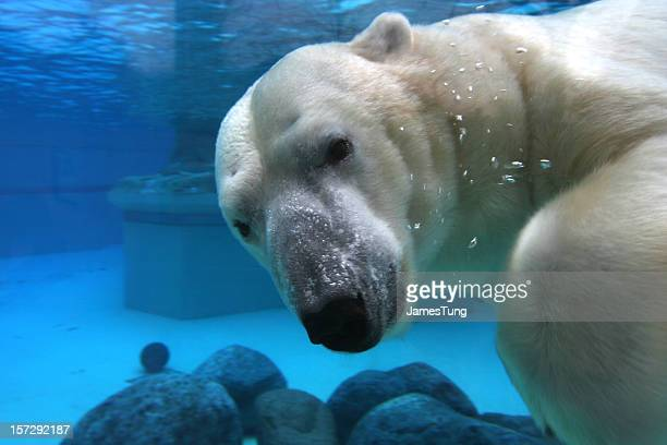 Polar bear swimming in tank, looking at camera