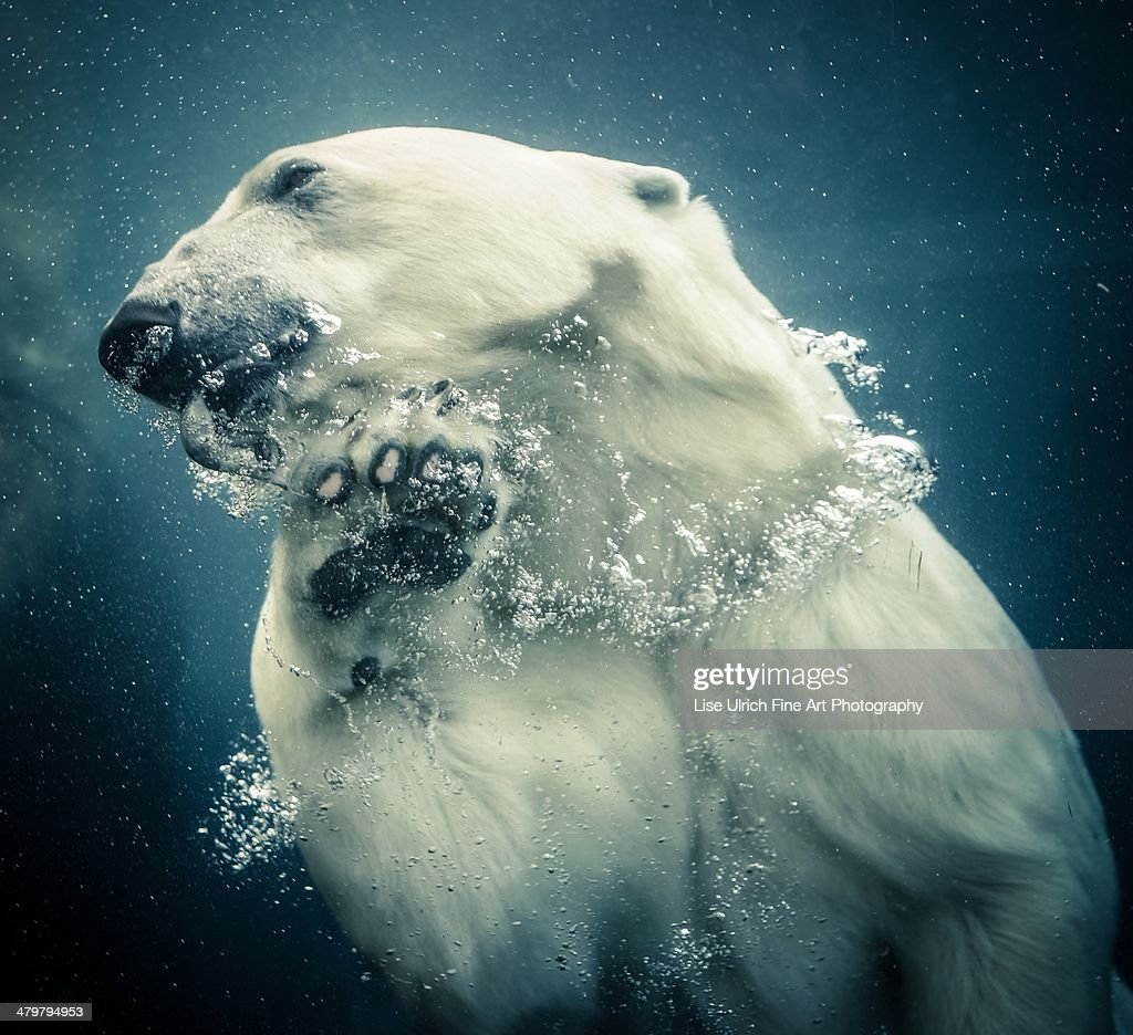 Polar bear swimming : Stock Photo