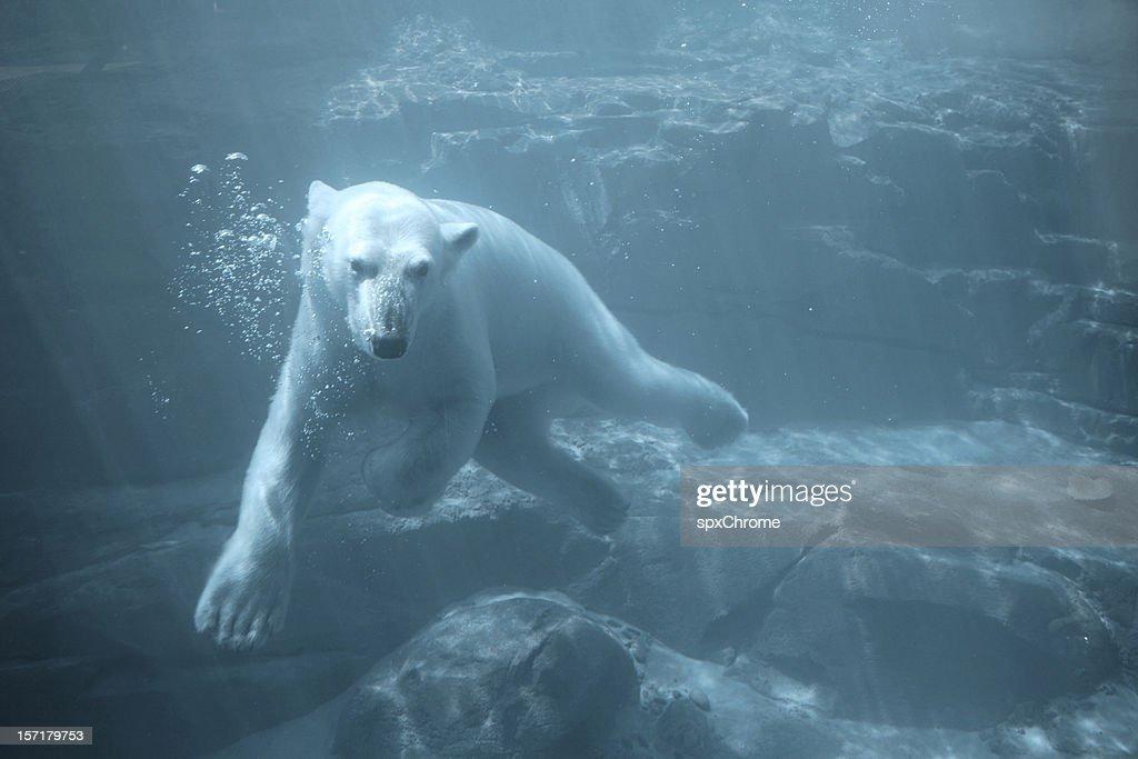 Polar Bear - Swimming Underwater : Stock Photo
