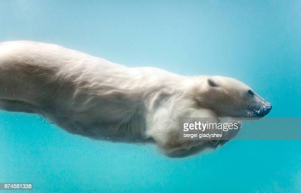 polar bear swimming underwater. - polar bear stock pictures, royalty-free photos & images