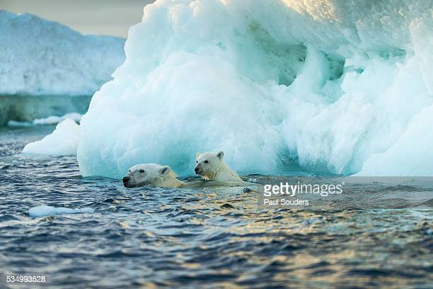 polar bear swimming with young cub, repulse bay, nunavut, canada - hudson bay stock photos and pictures