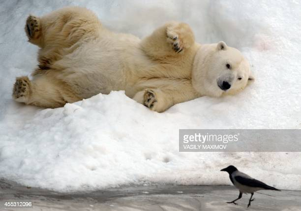Polar bear takes a sun bath at Moscow's zoo on September 12 in Moscow. From September 13 to 14 Moscow's zoo marks 150 years since its founding in...
