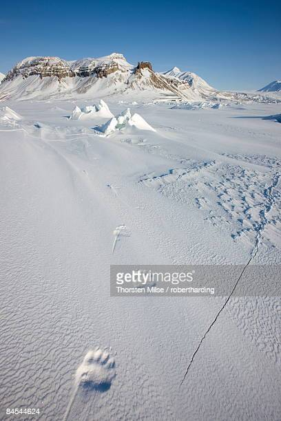 polar bear track, billefjord, svalbard, spitzbergen, arctic, norway, scandinavia, europe - bear tracks stock photos and pictures