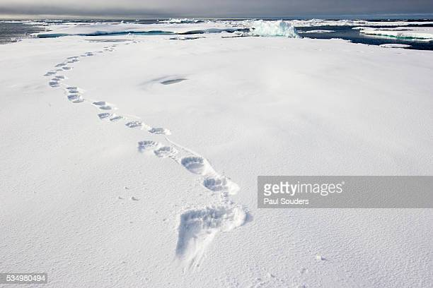 polar bear tracks in fresh snow at spitsbergen island - bear tracks stock pictures, royalty-free photos & images