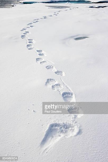 Polar Bear Tracks in Fresh Snow at Spitsbergen Island