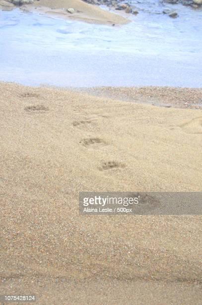 Polar Bear Tracks through the Sand