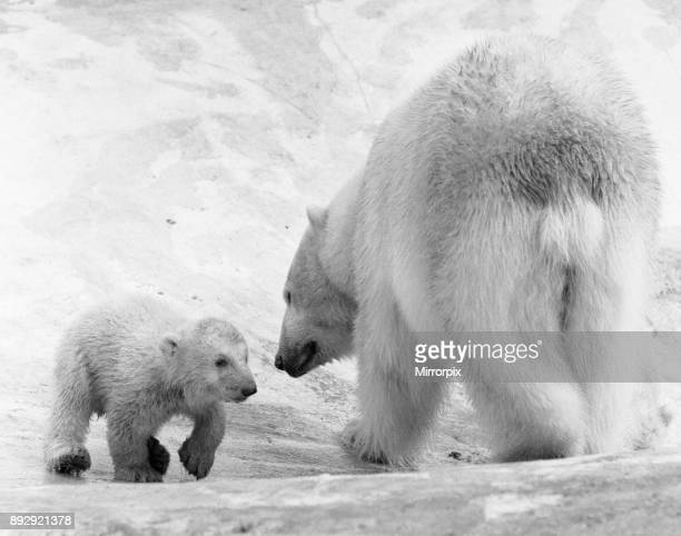Polar Bear twins Aurora and Polaris who are three months old went out with their mother Sonja for the first time at Whipsnade Zoo Mother is close at...