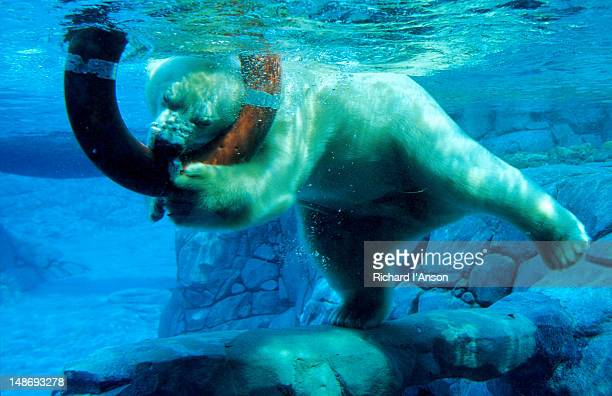 polar bear underwater at melbourne zoo. - melbourne zoo stock pictures, royalty-free photos & images